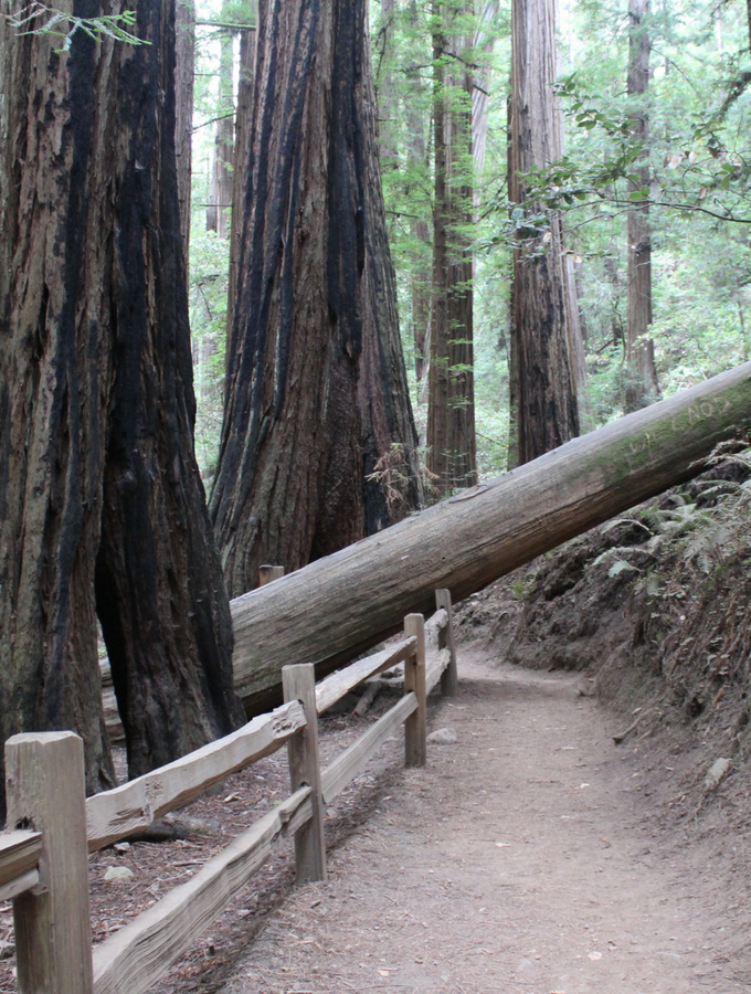 Just a short drive from San Francisco, Muir Woods allows you to disconnect from the hustle and bustle of the City. Here's what you need to know about this must-visit National Monument!