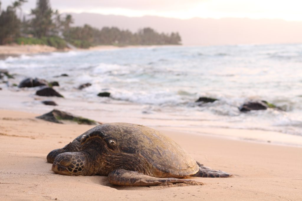 Sea turtle hangs out on a beach in Maui, one of the best things to do in the island.